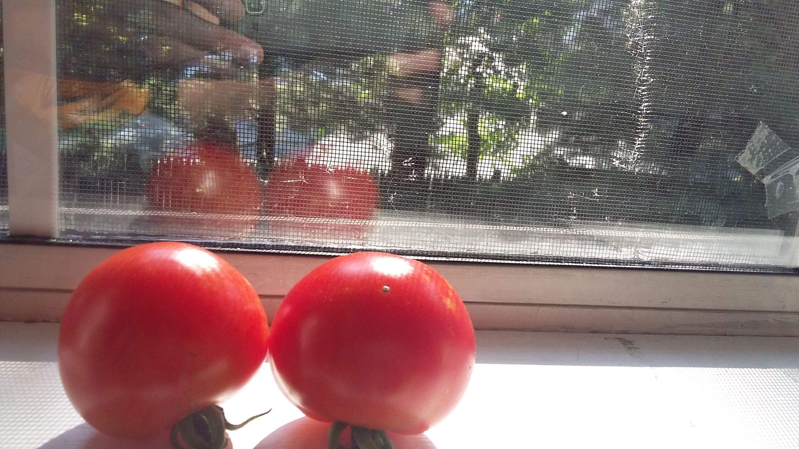 Sally's tomatoes on the windowsill